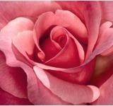 Rosa (Rosaceae)